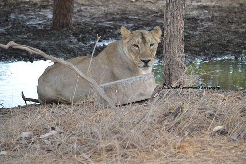 Asiatic Lion – Gir Forest National Park, Gujarat