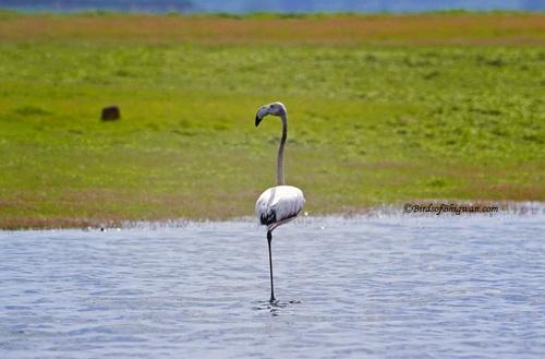 Flemingo_bird