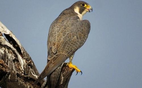 Peregrine -Falcon