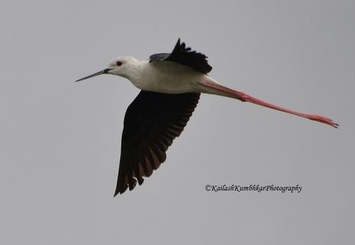 black-winged-stilt-Bhigwan