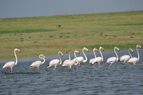 Flamingos-in-Bhigwan