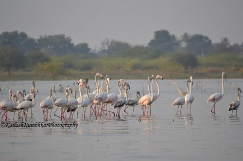 flamingoes-India