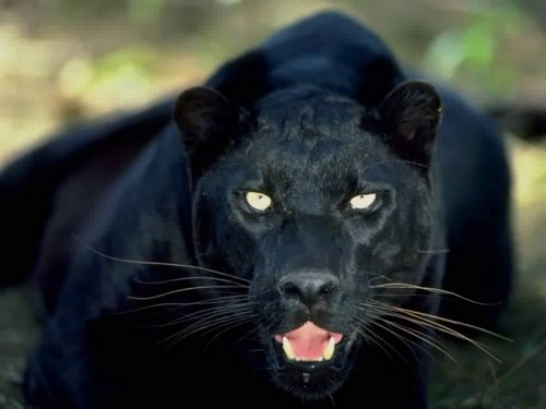 black-panther-In-India