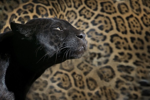 Black_Leopard_Panther