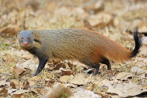 Stripe-necked-mongoose