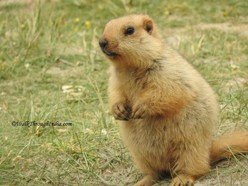 Himalayan- marmot