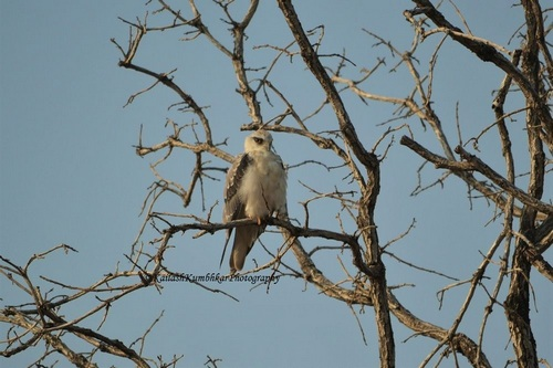 Black-winged-kite