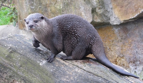 Top 4 Rivers, to Spot 3 Species, of Otters in India