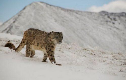 snow_leopard_India