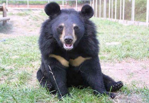 Asian Black Bear (Ursus Tibetanus)