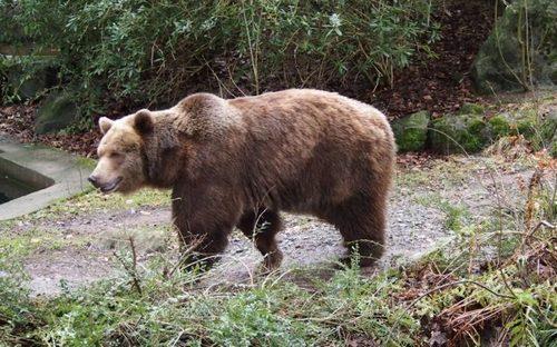 Himalayan Brown Bear (Ursus arctos isabellinus)