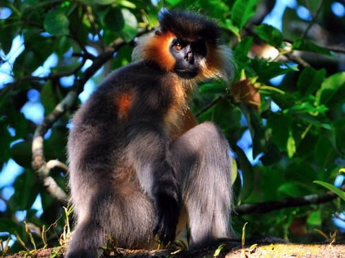 Capped Langur – Nameri National Park