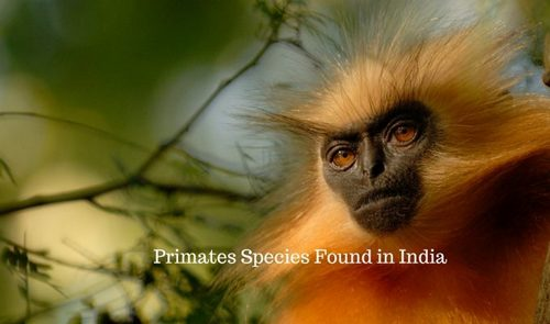 Golden Langur – Chakrashila Wildlife Sanctuary
