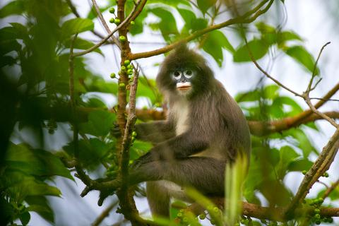 Phayre's Leaf Monkey – Gumti Wildlife Sanctuary