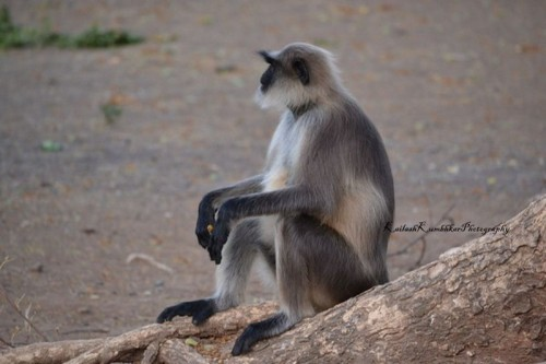 Gray Langur – Nagarhole National Park