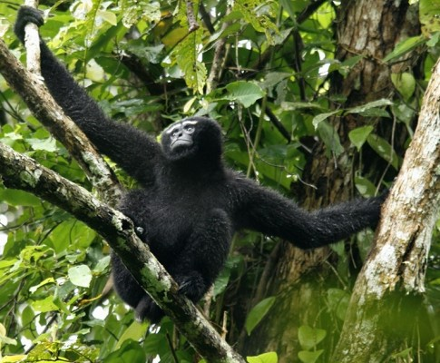 Hoolock Gibbons – Hoollongapar Gibbon Sanctuary