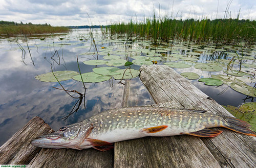 Pike fishing in overgrown reservoirs