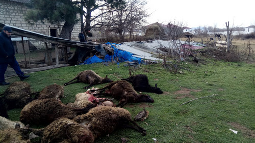 Wolves, continue to attack the Georgian villages