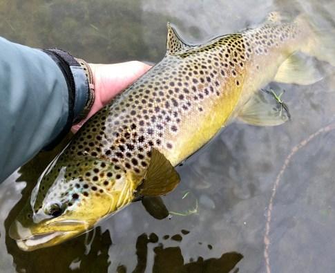 A superb wild trout from tal-y-llyn