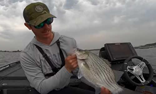 White bass hybrid