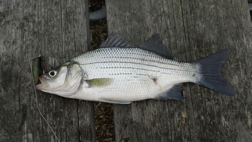 File:White Bass, Caught and Released.JPG - Wikimedia Commons