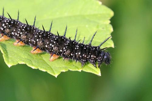 Black caterpillar with spikes and white dots