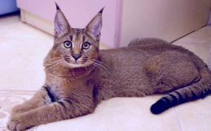 Cat breed lynx home
