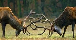 Поединок самцов оленя за благосклонность самки