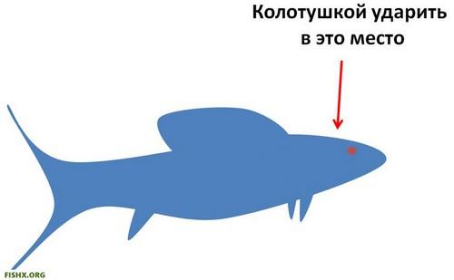 Как усыпить рыбу