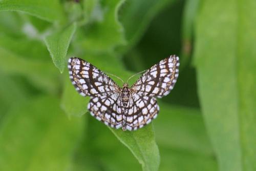Moth clover