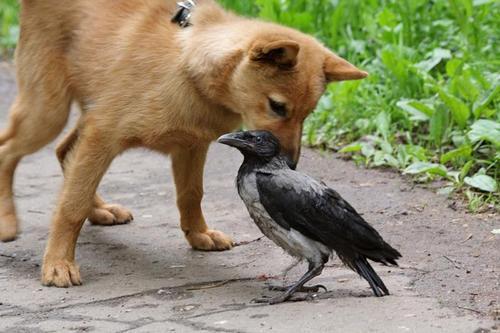 Щенок пытается познакомиться с воронёнком (птенцом-слётком вороны)