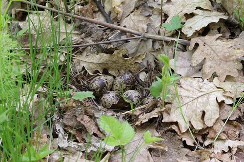 Гнездо мородунки (Xenus cinereus) на земле среди прошлогодних листьев с маленькими пёстрыми яйцами оливкого цвета с коричневыми крапинами