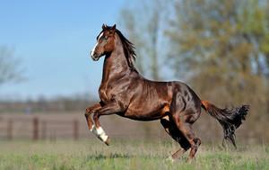Английский чистокровный конь скачет на лугу
