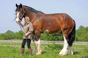 Весовая категория лошади
